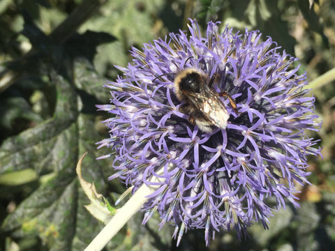 Globe Thistles are a great food source for bees late in the summer