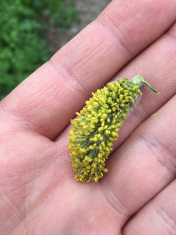 Willow catkin - full of pollen