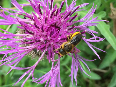 Solitary bee on a Knapweed flower