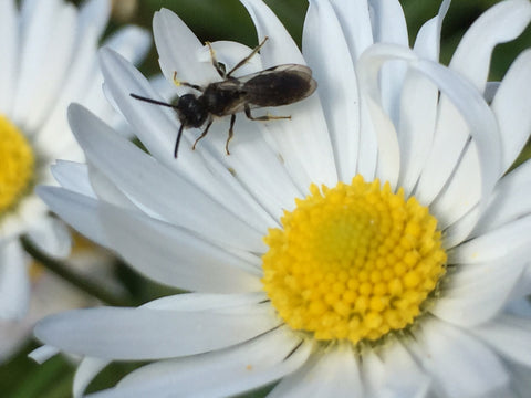 Spare those daisies! Solitary bees feed on them at this time of year