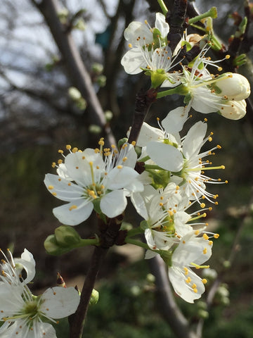 Plum blossom in full bloom