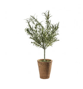 Large Lavender Olive Tree with Clay Pot
