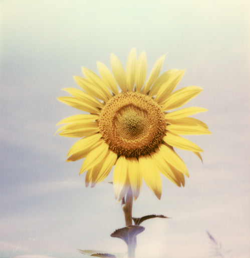 Sunflower Polaroid tournesol photo deco poster Toscane Italie Italy