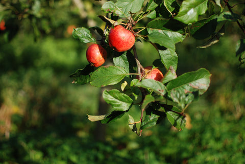 Wiper and True orchard apples