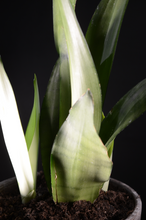 Load image into Gallery viewer, Sanseveria Moonshine