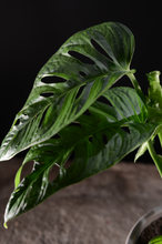 Laden Sie das Bild in den Galerie-Viewer, Monstera adansonii