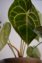 Laden Sie das Bild in den Galerie-Viewer, Anthurium clarinervium - Blumencafé Berlin