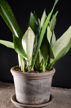 Load image into Gallery viewer, Sansevieria Moonshine