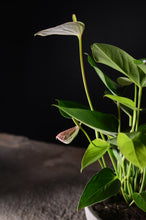 Laden Sie das Bild in den Galerie-Viewer, Anthurium andreanum - Flamingoblume