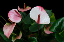 Laden Sie das Bild in den Galerie-Viewer, Anthurium