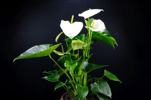 Anthurium XL
