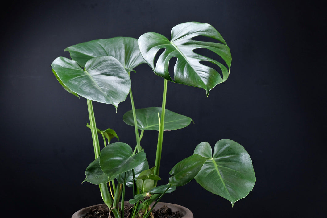 Monstera deliciosa - Blumencafé Berlin