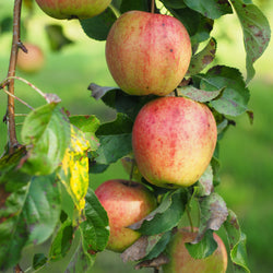 Apples, Royal Gala