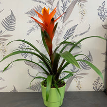 Load image into Gallery viewer, Guzmania plant