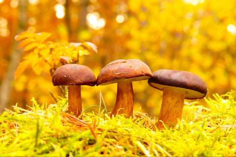 three brown mushrooms sitting in a forest
