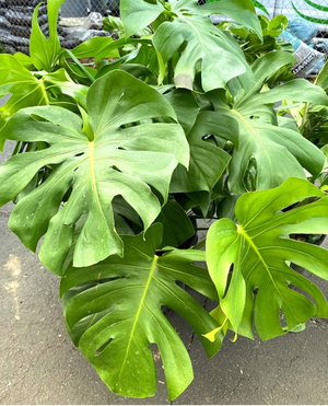 Philodendron - MONSTERA DELICIOSA