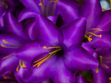 Load image into Gallery viewer, Purple Trumpet Lily Bush