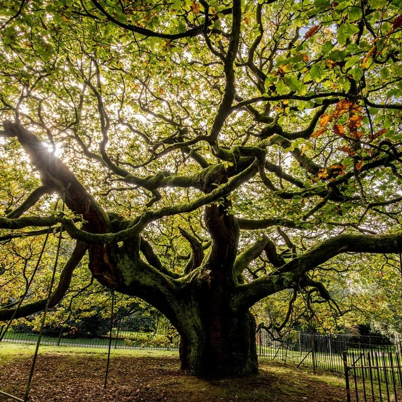 Allerton Oak - A symbol of hope & remembrance