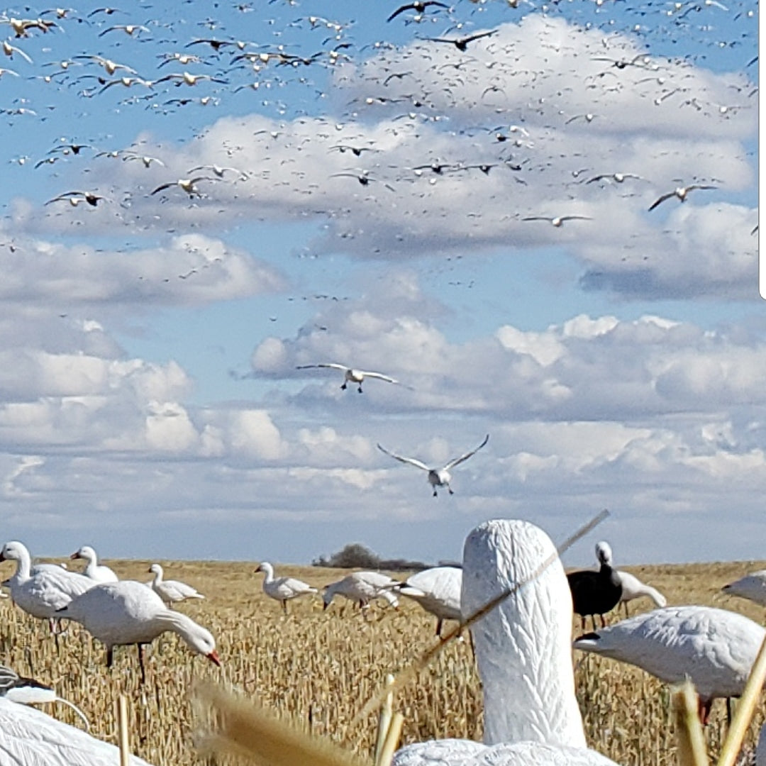 SX Full Body Snow Goose Decoys