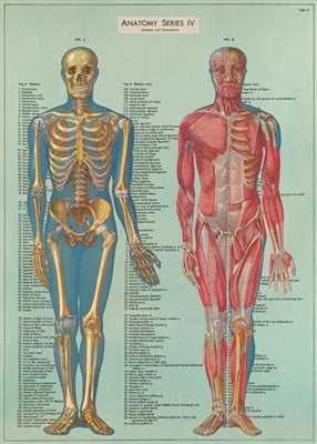 Anatomy Series Vintage Reproduction Poster