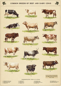 Cow Chart Vintage Reproduction Poster
