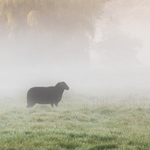 Black Welsh Mountain Sheep In the Mist