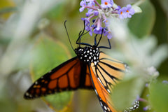 Monarch butterfly feeds on a purple flower.