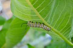 Monarch caterpillar feeds on a milkweed leaf.