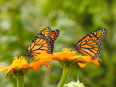 Two monarch butterflies feed on flowers side by side.