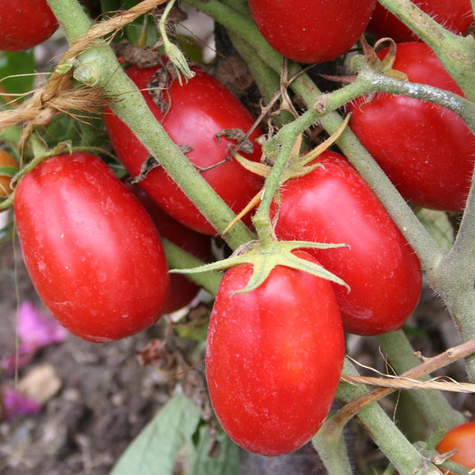 Tomate Italienne