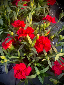 Dianthus Roselly  pot 9cm