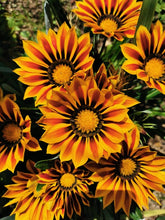 Charger l'image dans la galerie, Gazania BIG KISS MIX pot de 10.5