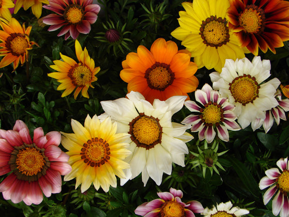 Gazania BIG KISS MIX pot de 10.5