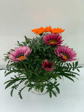 Charger l'image dans la galerie, Gazania BIG KISS MIX pot de 1L
