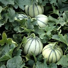Plants de Melon Pot 10,5