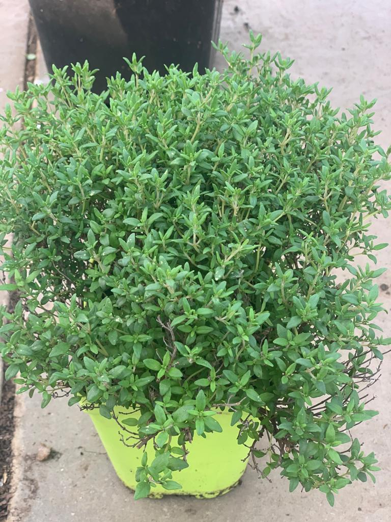 Thym Citron pot de 1L