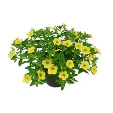 Calibrachoa pot 10.5