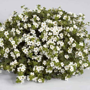 Bacopa Gulliver Pot 10.5
