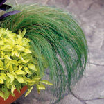 "Grass Mexican Feather 'Pony tails'  4"" pot"