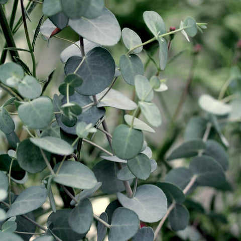 "Eucalyptus 'Silver Drop' 4"" Pot"