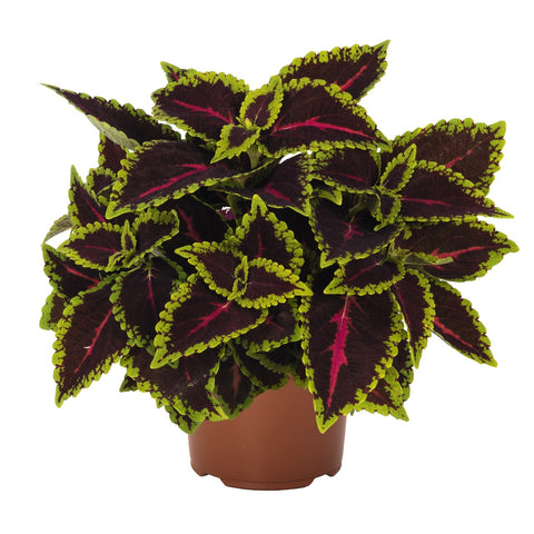 "Coleus Main Street Alligator Alley 4"" pot"