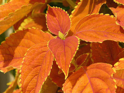 "Coleus Rustic Orange 4"" pot"