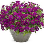 "Verbena Superbena Royale Plum Wine 4"" pot"