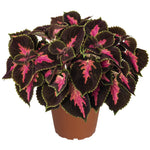 "Coleus Main Street Fifth Avenue 4"" pot"