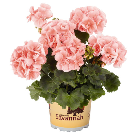 "Geranium Savannah Light Salmon 4"" pot"