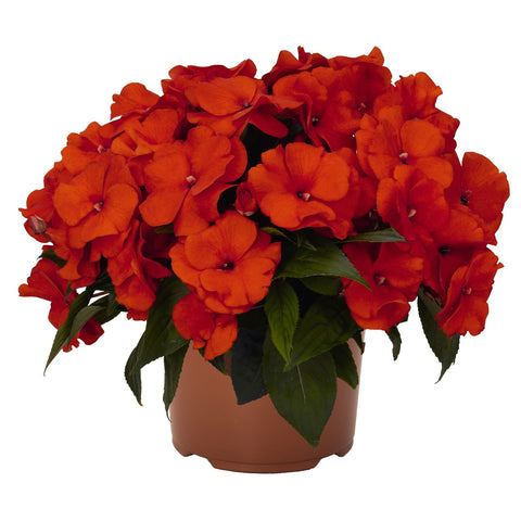 "New Guinea Impatient Magnum Fire 4"" pot"