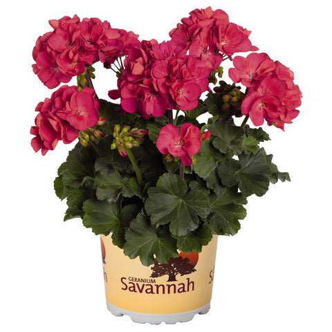 "Geranium Savannah Punch 4"" pot"