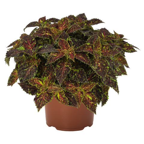 "Coleus Main Street Michigan Avenue 4"" pot"