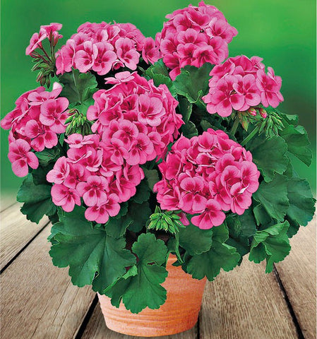 "Geranium Americana Rose Mega Splash 4"" pot"