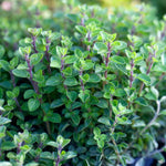 "Oregano italian 3.5"" pot"